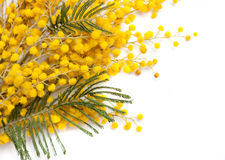 Branch of mimosa plant Stock Photography