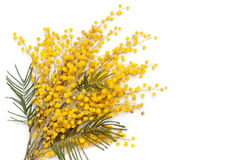 Branch of mimosa plant Stock Photo