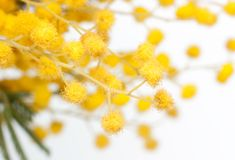 Branch of mimosa plant Stock Photos