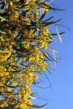 Branch of mimosa plant with round fluffy yellow flowers Royalty Free Stock Photo