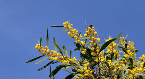 Branch of mimosa plant Royalty Free Stock Images