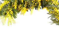 Branch of mimosa , Stock Photography