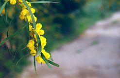 A branch of mimosa wild and fuzzy blurred background Royalty Free Stock Photos