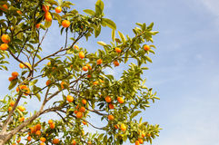 Branch of mini oranges (Kumquats) Royalty Free Stock Photo