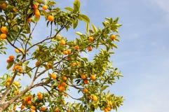 Branch of mini oranges (Kumquats) Royalty Free Stock Photo