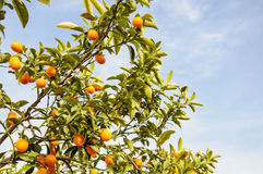 Branch of mini oranges (Kumquats) against a blue sky Royalty Free Stock Photo