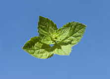 Branch mint leaves on background of blue sky Stock Images