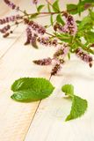 Branch of mint Royalty Free Stock Images