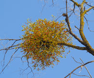 Branch mistletoe with berries in the winter Stock Photos