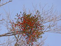 Branch mistletoe with berries in the winter Royalty Free Stock Photos