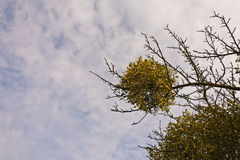 Branch with mistletoe Royalty Free Stock Image