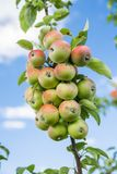 A branch with more than twenty apples royalty free stock photography