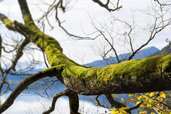 Branch with moss Royalty Free Stock Photo
