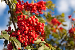 Branch of a mountain ash Royalty Free Stock Image