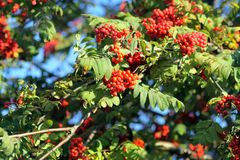 Branch of a mountain ash Royalty Free Stock Photos