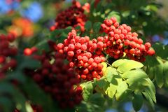 Branch of a mountain ash Royalty Free Stock Images