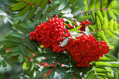 Branch of a mountain ash royalty free stock photo