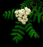 Branch of mountain ash on a black background. Flowering branch of mountain ash (Sorbus) on a black background close up Stock Photography