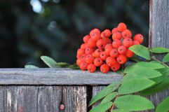 branch of mountain ash Stock Image