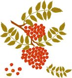 Branch of mountain ash with red berries. Branch of mountain ash with red berries on white background. Vector version is in my portfolio royalty free illustration