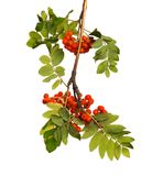 Branch of mountain ash with ripe berries and foliage on isolated background. Branch of mountain ash with ripe berries and green foliage on white isolated Stock Photography
