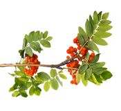 Branch of mountain ash with ripe berries and foliage on isolated background. Branch of mountain ash with ripe berries and green foliage on white isolated Stock Photo