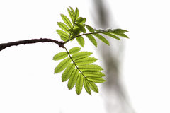 Branch of a mountain ash tree with bright green leaves Royalty Free Stock Images
