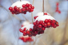 A branch of the mountain ash under snow Royalty Free Stock Photo