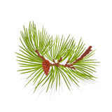 Branch mountain pine vector illustration Stock Photo