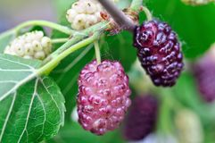Branch of mulberry Royalty Free Stock Photo