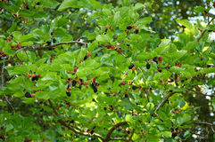 Branch of mulberry tree. With black ripe and red unripe berries stock photography