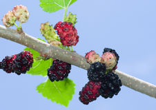 Branch of mulberry tree with fruits Royalty Free Stock Photo