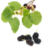 Branch of mulberry tree with fruits Royalty Free Stock Image
