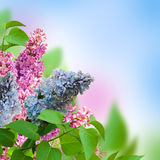 Branch of a multi-colored syringa Stock Image