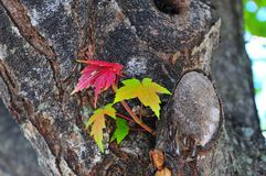 Maple Leaf Close Up. Branch of multicolored maple leaves growing on trunk of maple tree reveals textured bark royalty free stock images