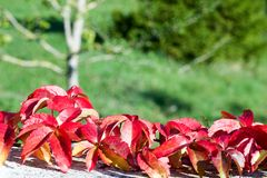Branch of multicolored parthenocissus leaves in autumn. Green background Royalty Free Stock Photo