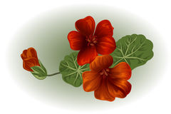 Branch nasturtium. Garden flower. Isolated vector element for design Stock Photo