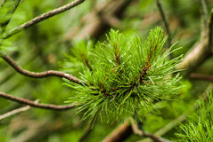 Branch of needles pine Stock Image