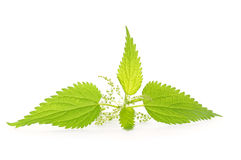 Branch of nettle Stock Photos