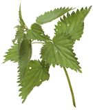 Branch nettle isolated on white background Stock Images