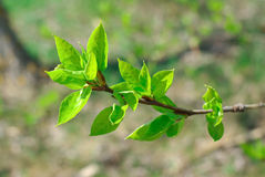 Branch with new leaves Royalty Free Stock Images