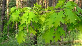Branch of northern red oak tree with lush, vibrant green foliage stock video footage