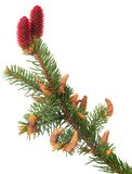 Branch of Norway spruce Stock Photos
