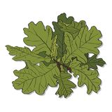 Branch of an oak Stock Images