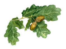 Branch of oak with acorns Stock Image