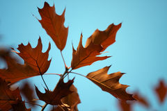 Branch with oak autumn leaves. Royalty Free Stock Photo