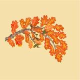 Branch of oak autumn theme vector Stock Photos