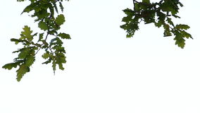 Branch of an oak tree with green leaves. Hanging from above, on a white background 2 stock video footage