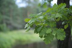 A branch of an oak tree with leaves royalty free stock image