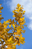 Branch of oak tree with yellow autumn leaves Stock Photography